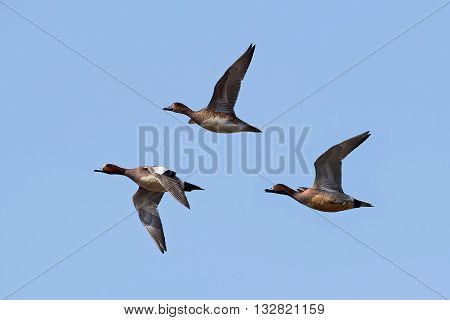 Eurasian wigeons (Anas penelope) in flight with blue skies in the background