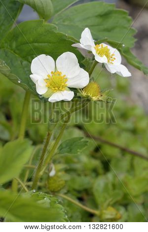 Garden Strawberry - Fragaria X ananassa Two flowers