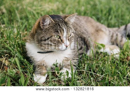 Lazy domestic grey cat lying at the meadow and looking at right