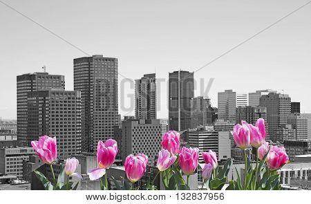 cityscape of Montreal with pink tulips on front