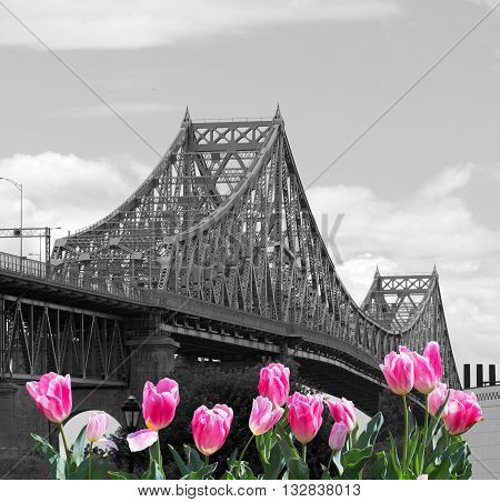 Jacques-Cartier Bridge with pink tulips in Montreal, Canada