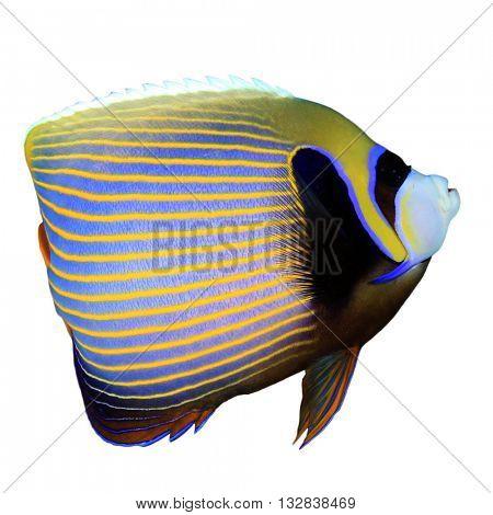 Marine fish: Emperor Angelfish isolated on white background