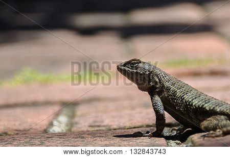 Californian western fence lizard staring back at camera and photographer before running off into the distance.