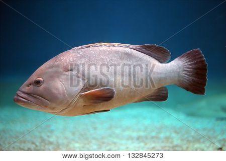 Big Grouper Swimming