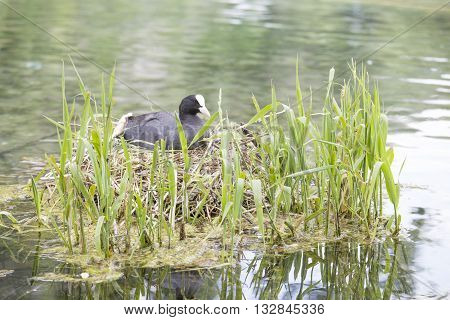 Eurasian Coot Hatching Eggs In The Nest