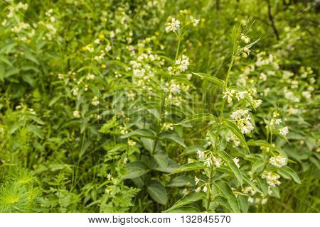 Vincetoxicum Hirundinaria, White Swallow-wort.