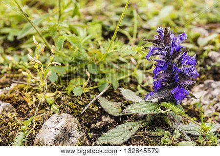 Flowering Plant Ajuga Genevensis (upright Bugle, Blue Bugle, Geneva Bugleweed).