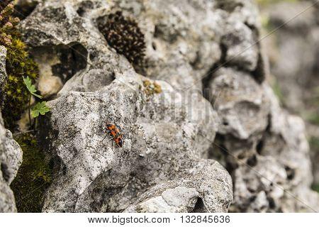 Lygaeus sp. with family Lygaeidae sits on a limestone rock.