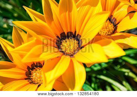 Gazania flowers - yellow daisies with green folliage