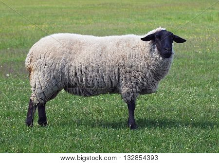 Exterior of suffolk sheep standing on a green meadow