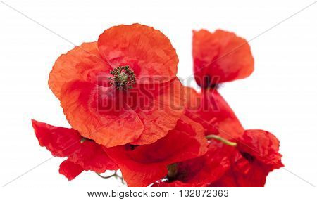 Red Poppy Isolated
