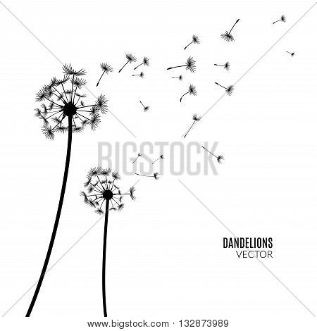 Vector Dandelion silhouette. Flying dandelion buds black on white