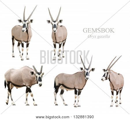 Gemsbok Or Oryx