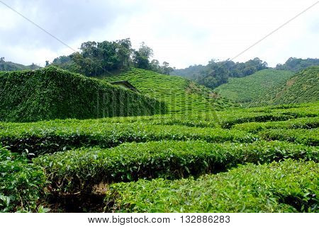 tea plantations ** note select focus with shallow depth of field:ideal use for background.