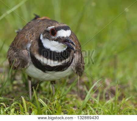 Killdeer that is concerned because things are close to its nest