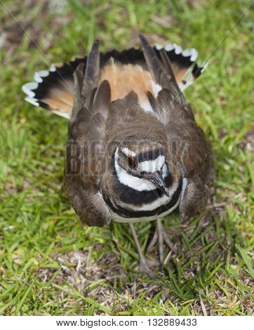 Killdeer puffing its feathers because something is close to its nest