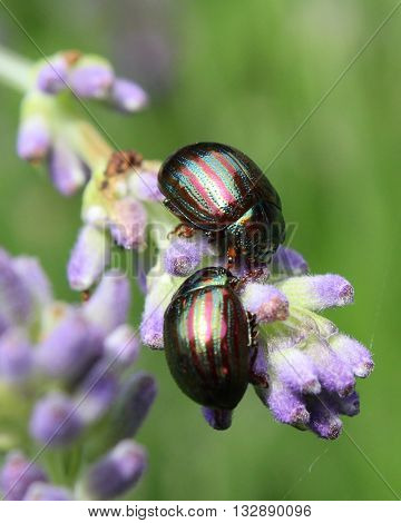Two Chrysolina americanas, common name rosemary beetle, feeding on the flower of one of its host plants, lavender (Lavendula).