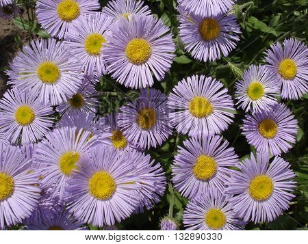 Erigeron (seaside daisy) purple and yellow flowers. poster