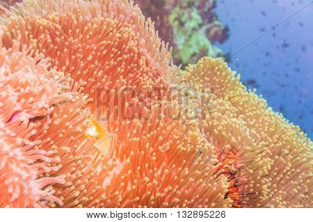 Coral Reef And Fish Underwater At South West Pinnacle