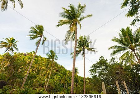 Coconut Palm Tree Against Blue Sky In Koh Tao