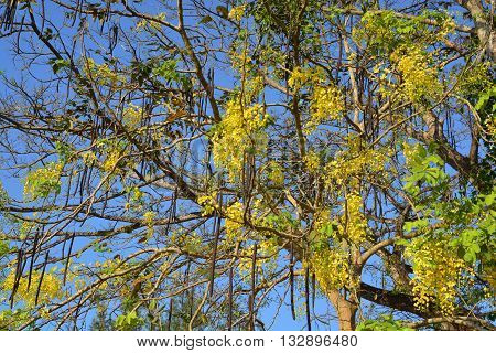 Purging Cassia national flower of Thailand / Yellow Flower