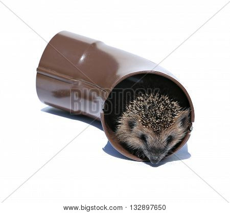 Small forest hedgehog gets out of the drainpipe isolated on white background