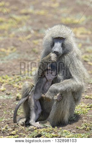 Olive Baboon (Papio anubis) mother with young in her arms Lake Manyara national park Tanzania.