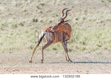 A Red Hartebeest Alcelaphus buselaphus caama trying to reach an itch