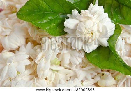 Jasmine (Other names are Jasminum Melati Jessamine Oleaceae) flowers placed on wooden board background