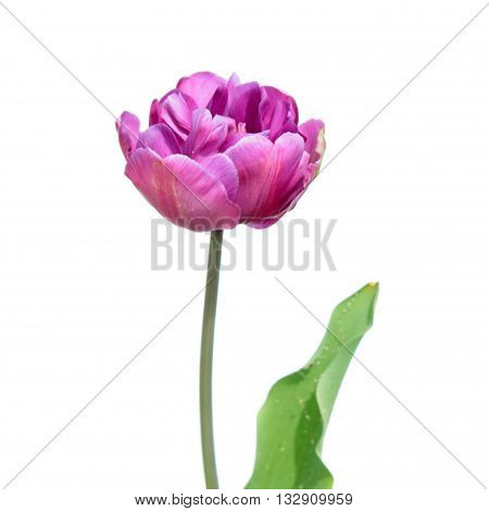 Purple Double erly tulip isolated on white background. Purple flower