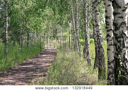 Summer landscape. Path in the birch copse.