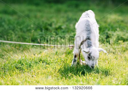 Grazing cute goatling on green meadow. Little goat eating grass on green meadow background. Grazing goat on pastureland