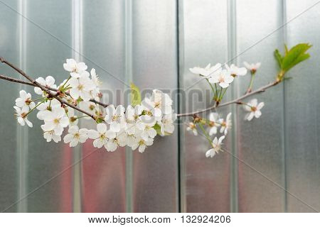 Cherry blossoms with green leaf against metal background closeup