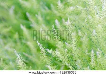 Natural background small green leaves of Asparagus Officinalis