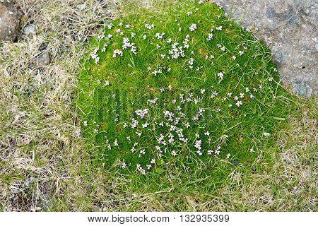 Moss Campion, Silene Acaulis Blooming
