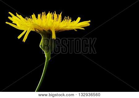 Yellow poisonous wildflower on black background as sonchus arvensis