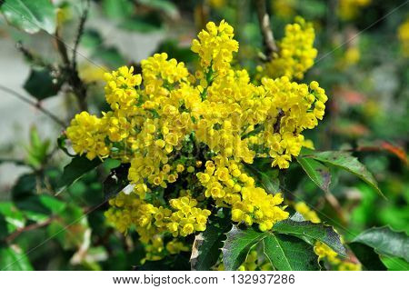 Flowering Mahonia aquifolium. Mahonia aquifolium is a species of flowering plant in the family Berberidaceae, native to western North America. poster