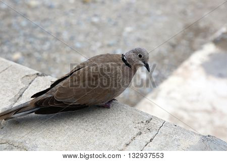 Ring-Necked Dove (Streptopelia capicola) also known as the Cape Turtle Dove or half-collared Dove