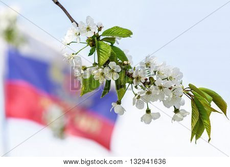 Branch of blossoming apple tree on the background of the Russian flag