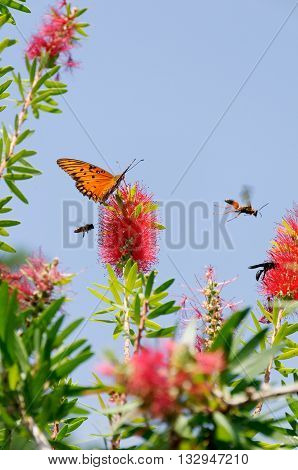 Gulf fritillary butterfly on a red flower with two wasps and a bee.