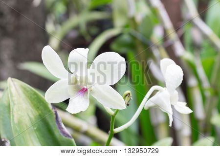 White orchid flowers the natural in the garden. select focus purple orchid Blur blurred background.