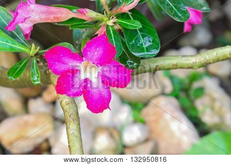 Desert Rose Tropical flower Pink adenium. Pink with water drops in the garden. (select focus Desert Rose Tropical flower and Blur blurred background