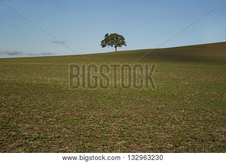 An isolated tree sitting on random rural farm land field in the northern regional area of South Australia.
