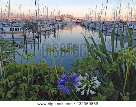 Dawn at Westhaven Marina with blue agapanthus flowers in the foreground and Auckland Harbour Bridge in the background.