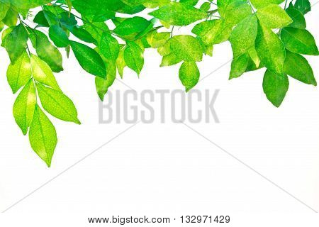 Green leaves on white background, organic, green