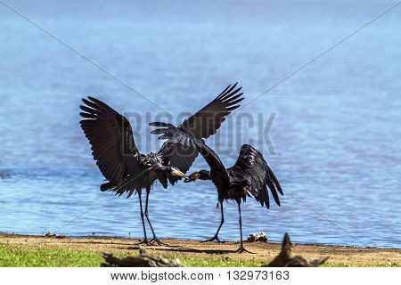 Specie Anastomus lamelligerus family of Ciconiidae, African openbills mating in Kruger Park