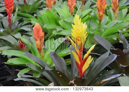 Bromeliads flower, The Bromeliaceae (the bromeliads) are a family of monocot flowering plants of 51 genera and around 3475 known speciesnative mainly to the tropical Americas, with a few species found in the American subtropics and one in tropical west Af