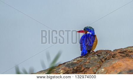 Specie Corythornis cristatus family of Alcedinidae, malachite kingfisher on a trunk in Kruger Park