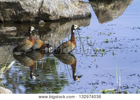 Specie Alopochen aegyptiaca family of Anatidae, three egyptian gooses in the riverbank in Kruger Park