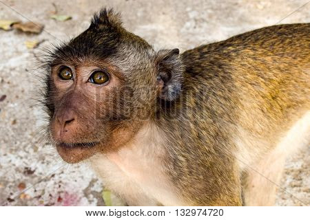 Cambodian monkey called a Rhesus macaques staring